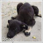 Roxy ter adoptie of opvang